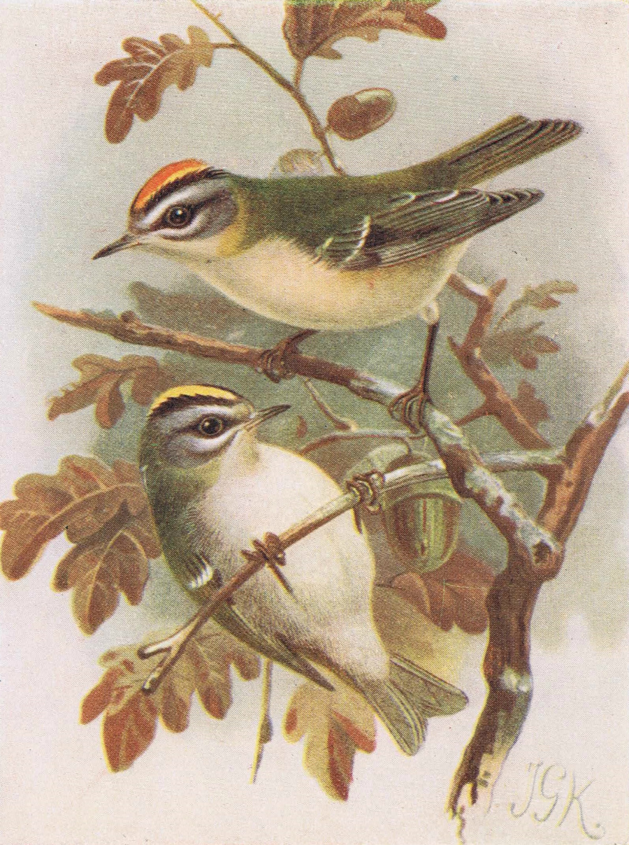 Birds on Oak Tree Firecrest