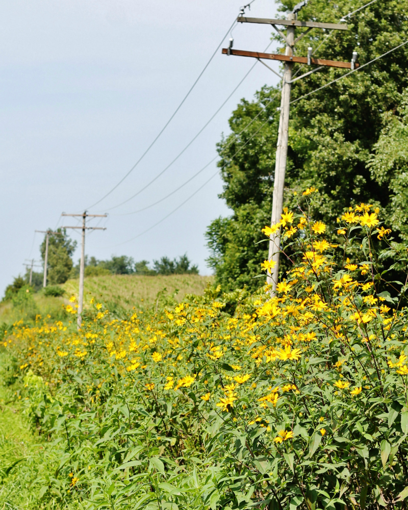 Country Road Telephone Poles and Wild Flowers via Knick of Time