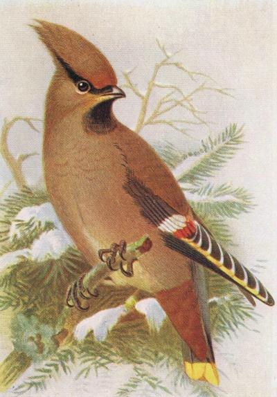 Waxwing-Bird-Print antique bird image