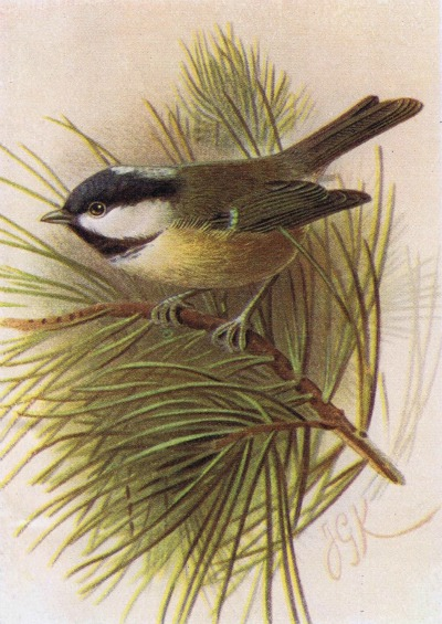 titmouse antique bird image