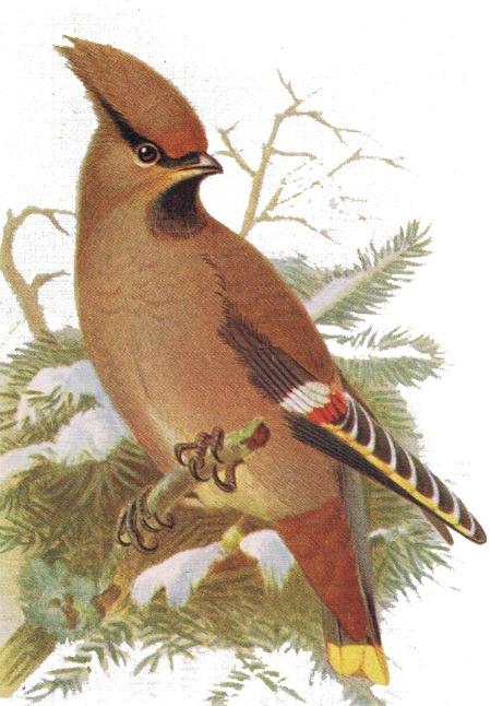 waxwing bird print transparent 2