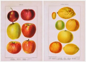 Antique Fruit Printables – Apples & Citrus Fruits