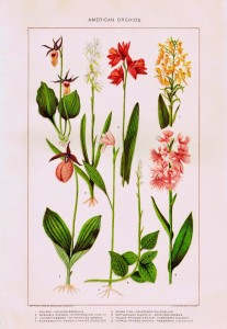 Nature Garden Flowers Printables – American Orchids