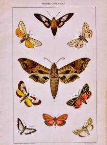 Antique Nature Printable – American Moths