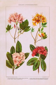 Nature Flowers Printable – Azaleas and Rhododendrons