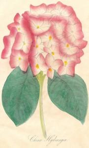 Antique Graphics Wednesday – 1800's Hydrangea Illustration