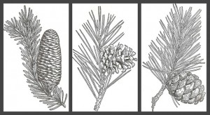 Evergreens and Pine Cones