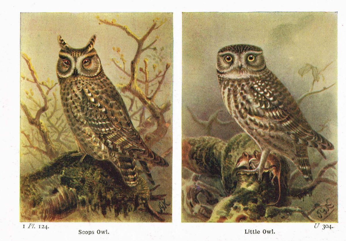Halloween owls image printable