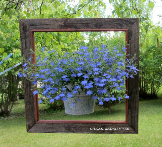 lobelia in bucket and frame