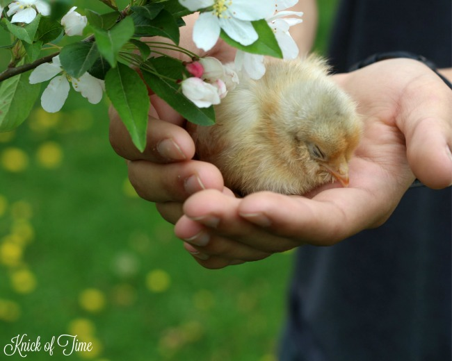Fresh flowers and spring baby chicks - KnickofTime.net