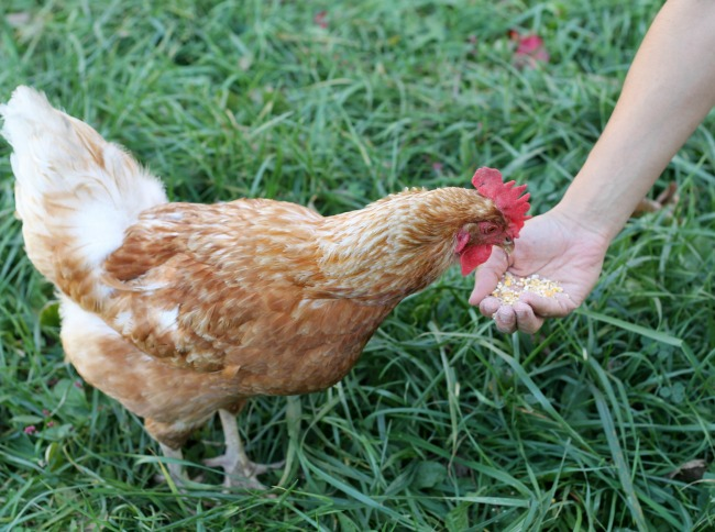 backyard chickens raising chickens farmhouse flock | www.knickoftime.net