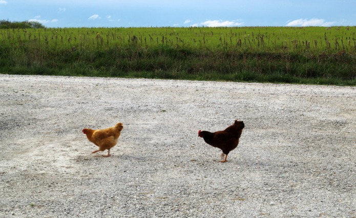 Weeking bad joke - Why did the chickens cross the road? | www.knickoftime.net