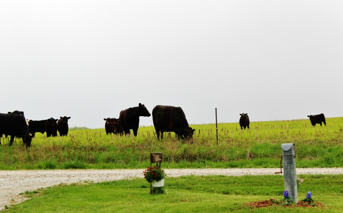 Cows in the pasture admiring farmhouse yard and garden decor | www.knickoftime.net