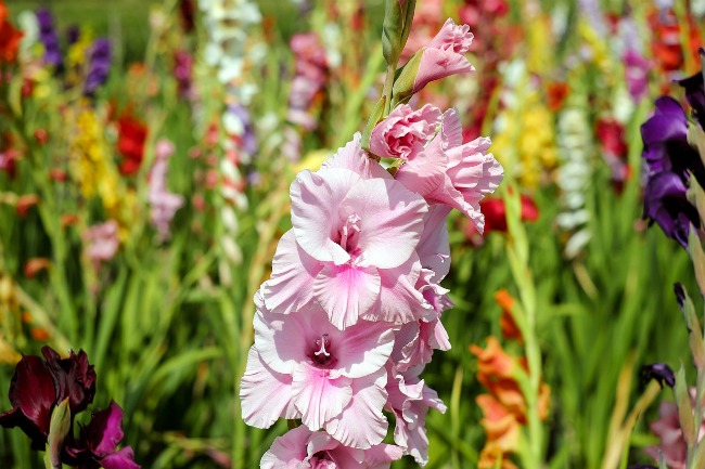 Gladiolus color mix annual flower bulbs | www.knickoftime