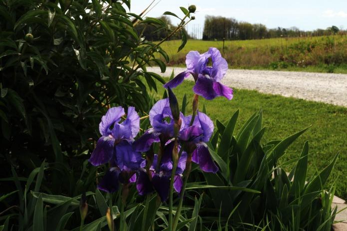 Weeking - purple irises blooming in farmhouse flower garden   www.knickoftime.net