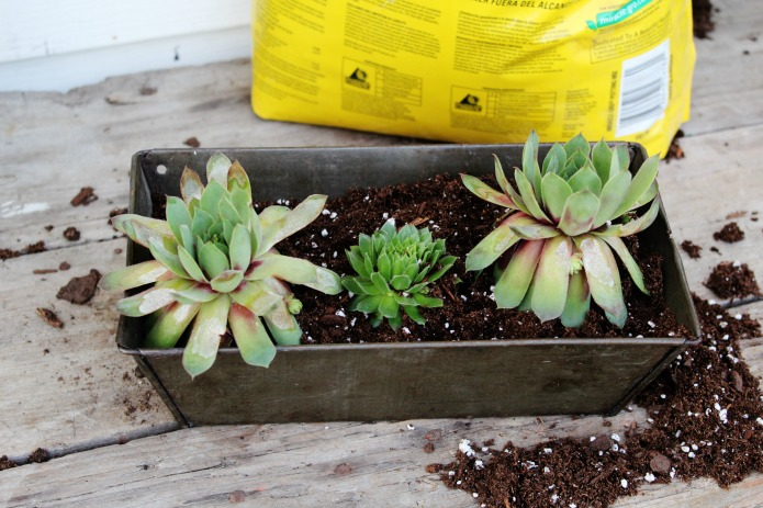 How to make a vertical succulent garden with hens and chicks in vintage bread pans | www.knickoftime.net