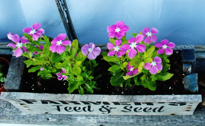 Periwinkle vinca planted in a pallet wood window box painted with Knick of Time's Vintage Sign Stencils | www.knickoftime.net