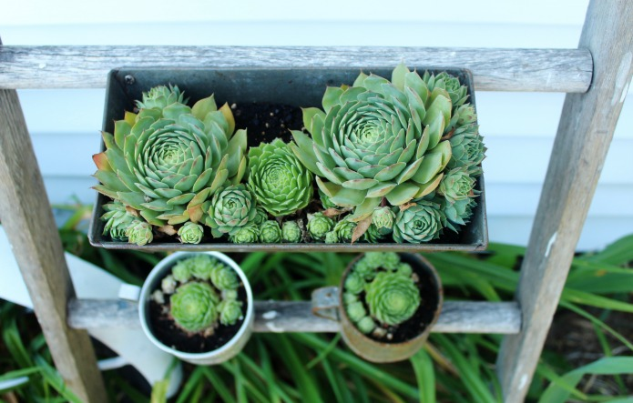 Hens and Chicks succulents (sempervivum) in vintage bread pan and metal cups | www.knickoftime.net