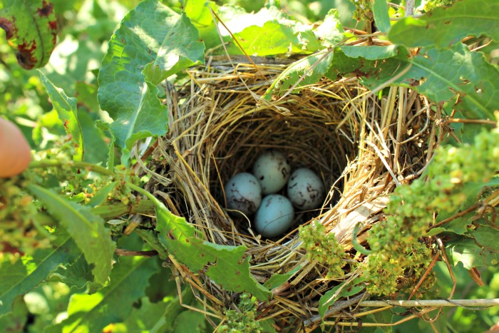 Red-winged Blackbird Eggs Nest | www.knickoftime.net